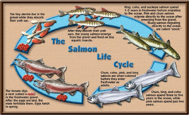 salmon-life-cycle.jpg